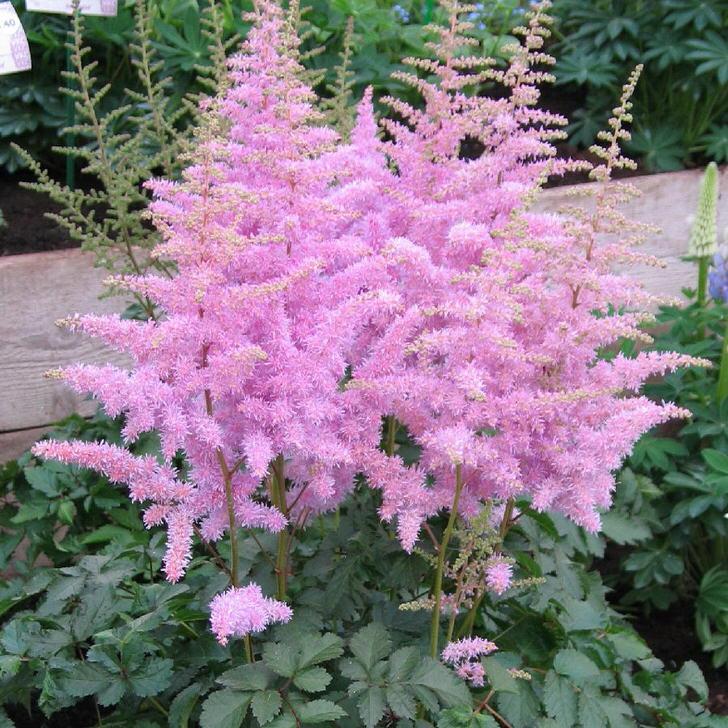 Светло-фиолетовые соцветия астильбы станут оригинальным украшением любого палисадника.