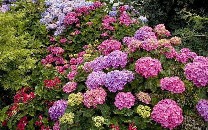 Дорожка из цветущей гортензии во дворе