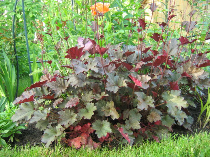 Гейхера, листья которой зеленые сверху и бордовые снизу - диковинный цветок, ставший наиболее популярным среди современных дачников.