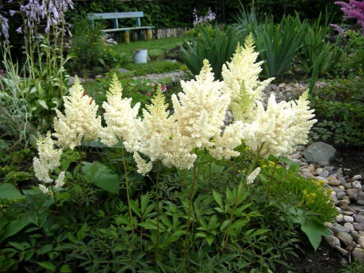 Белоснежные цветы астильбы в саду у дома.