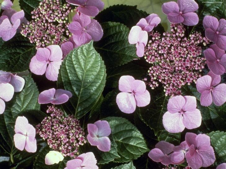 Распускающиеся соцветия гортензии