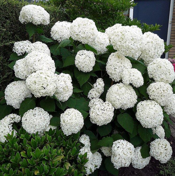 Округлые бутоны белоснежной гортензии метельчатой у порога дома буду радовать глаз его хозяев и их гостей.