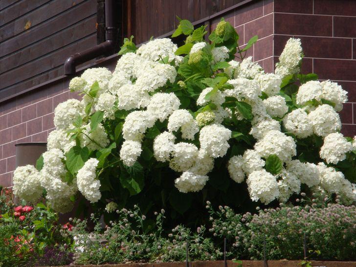 Дачники ценят гортензию за пышное цветение большими бутонами.