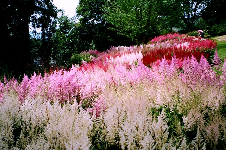 Роскошный приусадебный участок. Соцветия белого, розового и ярко-малинового цвета гармонично сочетаются в общей картине ландшафтного дизайна.