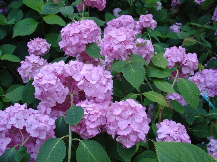 Бледно-фиолетовые цветы гортензии крупнолистной украсят любой сад.