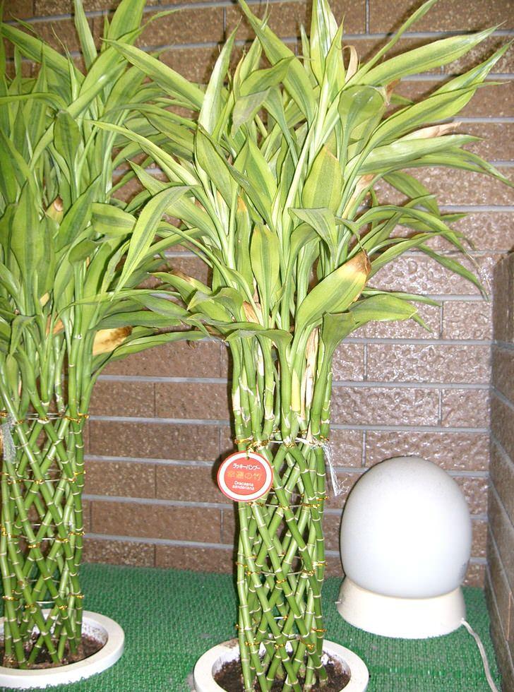 домашняя пальма драцена маргината уход в домашних условиях