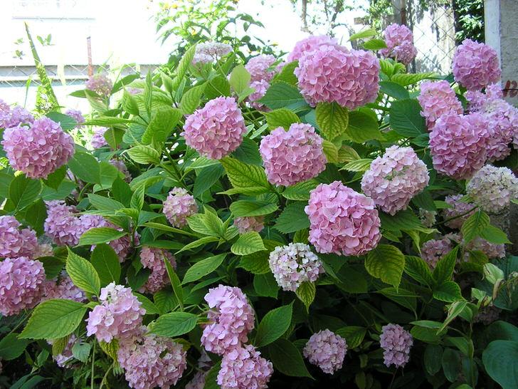 Крупные бутоны нежно-розового цвета – фавориты этого дачного сезона.