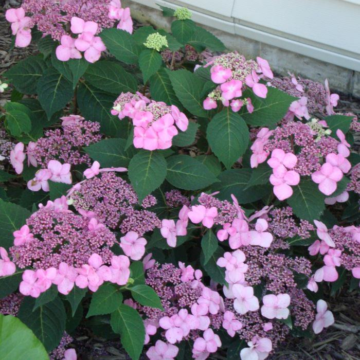 Распускающиеся цветы гортензии крупнолистной.