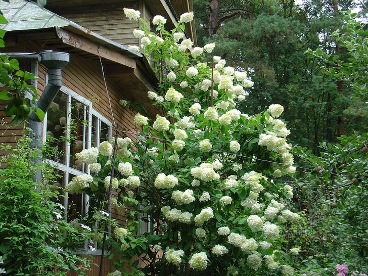 Высокий куст гортензии черешковой с пышными белыми соцветиями.