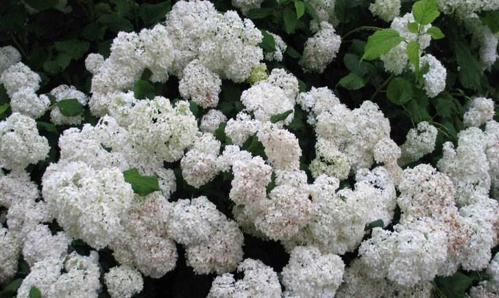 Садовая белоснежная гортензия - универсальное дизайнерское решение для любого ландшафтного дизайна.