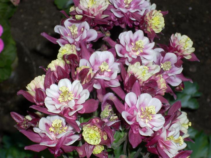Ухоженные цветы аквилегии