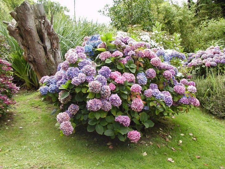 Круглый куст гортензии садовой
