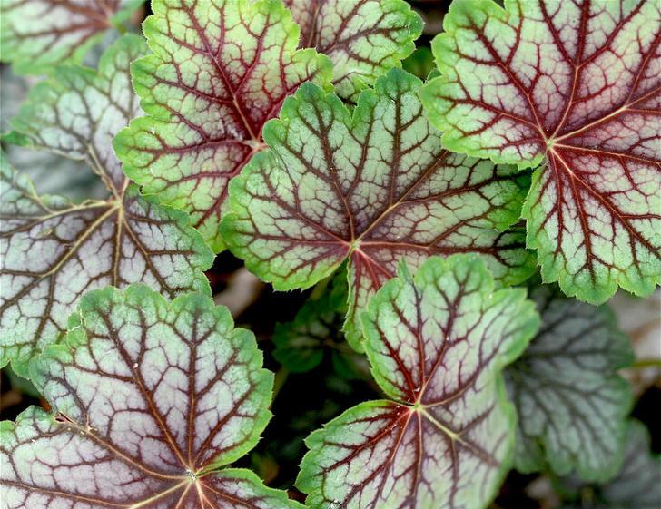 Интересная окраска листьев гейхеры