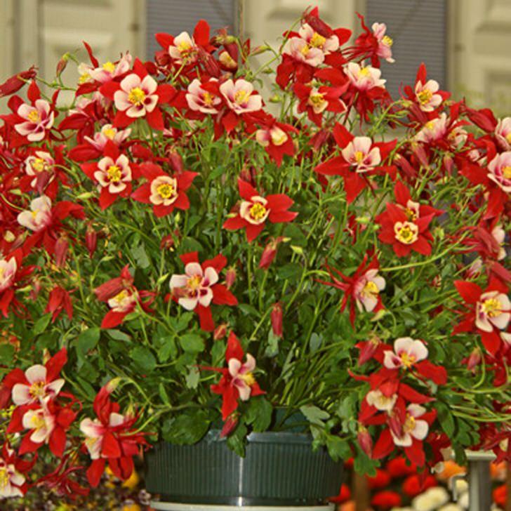красные цветы аквилегии