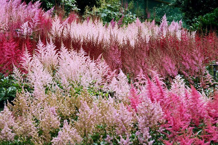 Астильба разных цветов - стильное украшение для сада. Яркие и блеклые цвета отлично сочетаются между собой.