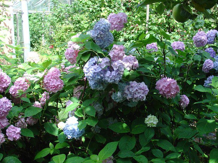 Садовая гортензия во дворе
