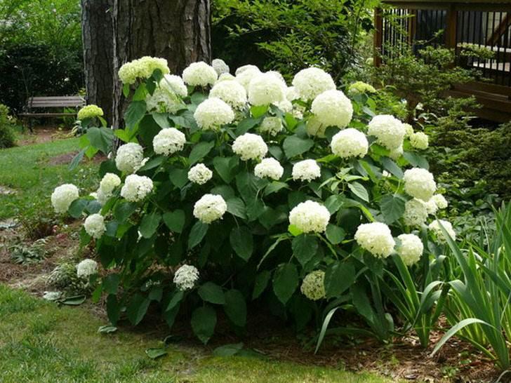 Куст гортензии древовидной с крупными белыми соцветиями классической формы - отличное украшение для порога дома.