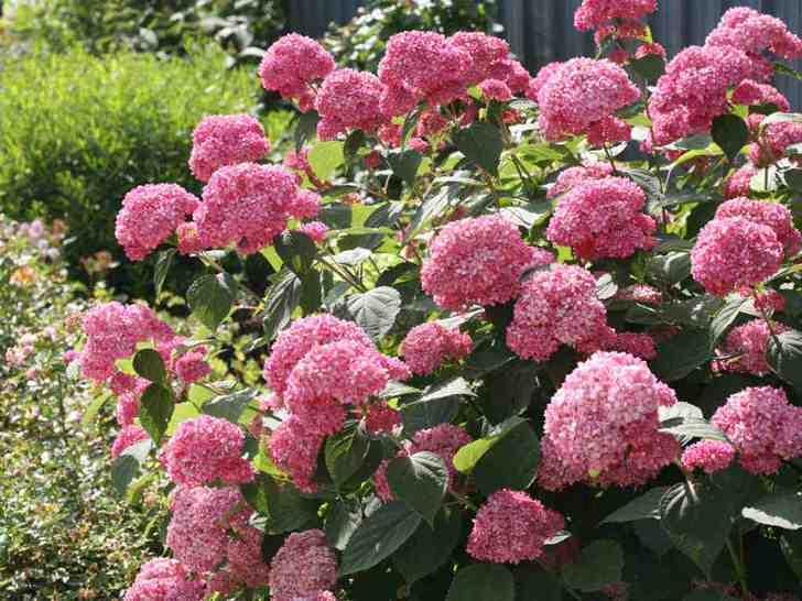 Яркие соцветия гортензии древовидной ярко-розового цвета.