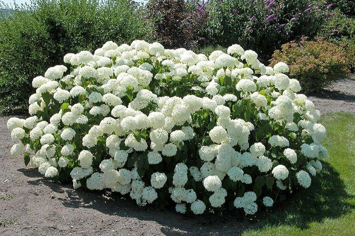 Красивый островок белой свежести, и гордость садовника.