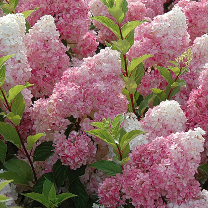 Объемные соцветия гортензии