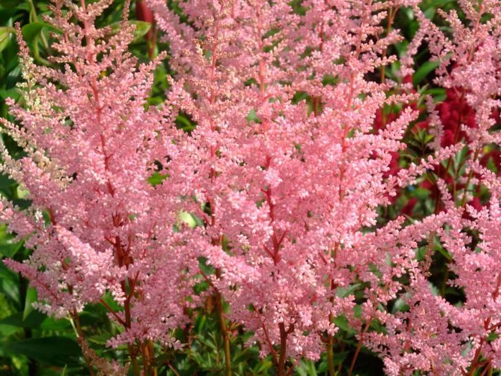 Розовые цветы астильды на длинных веточках.