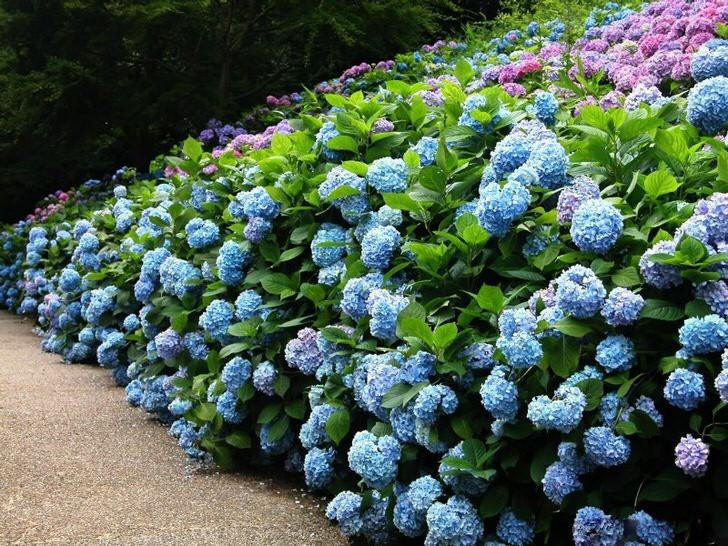 кусты садовой гортензии