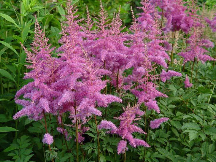 Ярко-фиолетовые объемные соцветия астильбы.