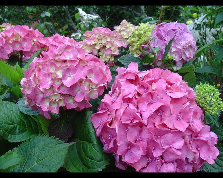 Пример гортензии садовой, которая получает достаточное количество света. Об этом свидетельствуют яркие оттенки цветов.