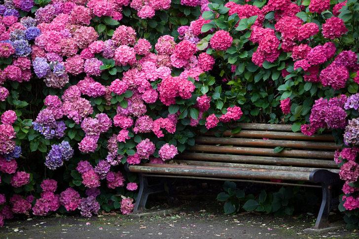 Кустарники гортензии в саду