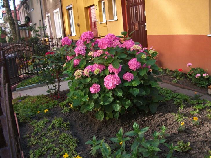 Садовая гортензия у дома.