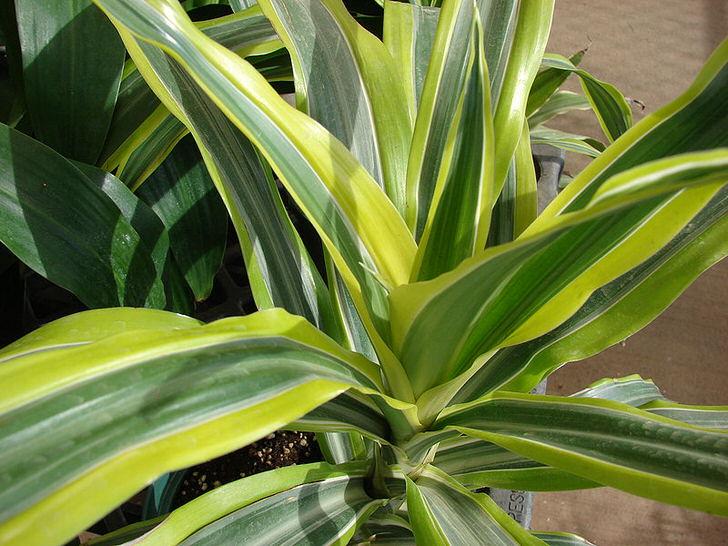 Листы драцены душистой имеют светло-зеленую окантовку.