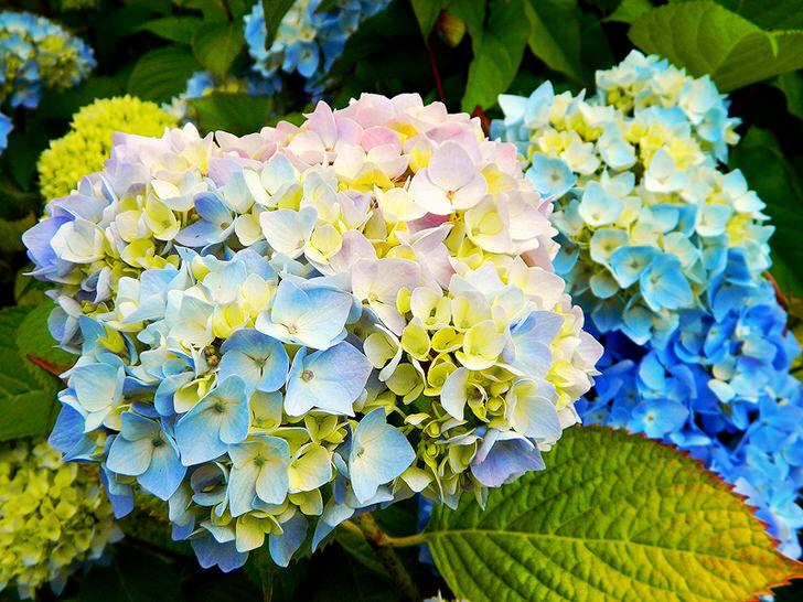 Разноцветные цветы гортензии