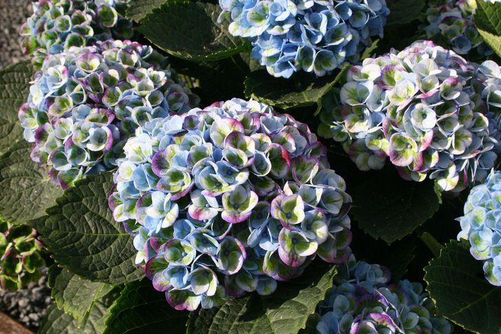 Гортензия с разноцветными бутонами - интересный вариант для оформления садового участка.