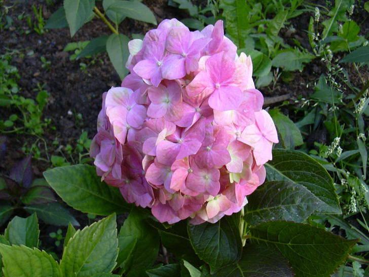 Правильно ухоженное соцветие гортензии.