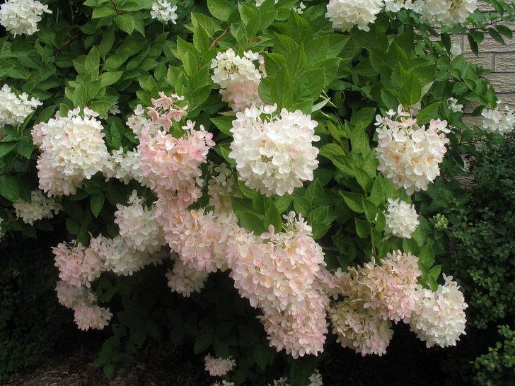 Бледно-розовые бутоны гортензии высажены прямо по-над домом.
