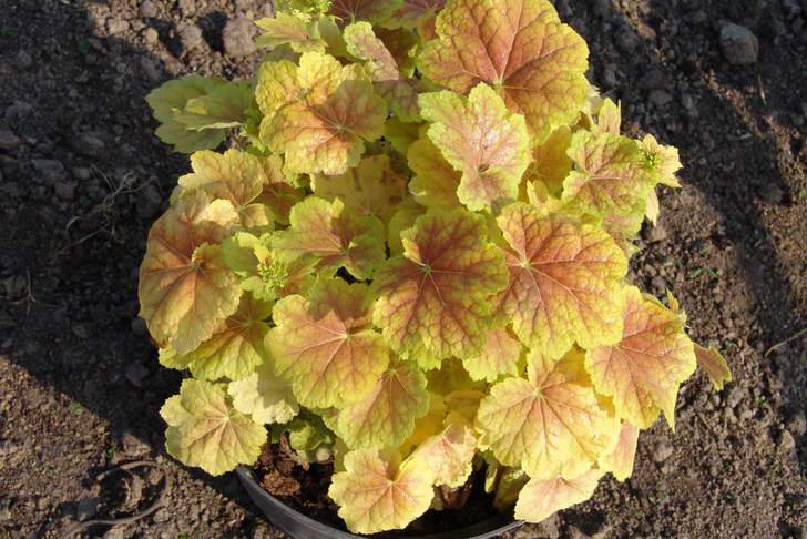 Гейхера может произрастать в горшках. Осенний окрас гейхеры в желто-красных тонах.