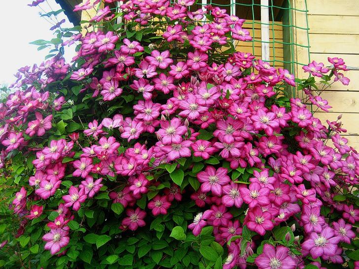 Клематиса ярко-розового цвета украшает угол дачи. Любимый цветок современных дачников.
