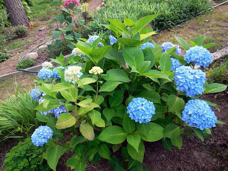 Гортензия крупнолистная Bloom Star с голубыми цветами.