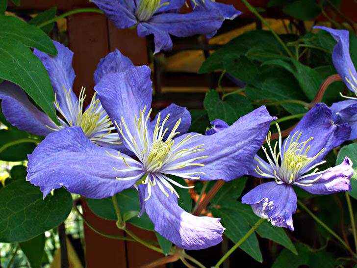 Нежно-фиолетовые цветы клематиса крупным планом.