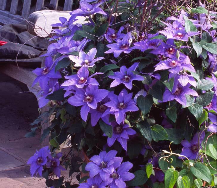 Яркие клематисы сиреневого цвета посажены вокруг лавочки. Так атмосфера в саду становится волнующей и романтической. Отличная идея для фотосессии.