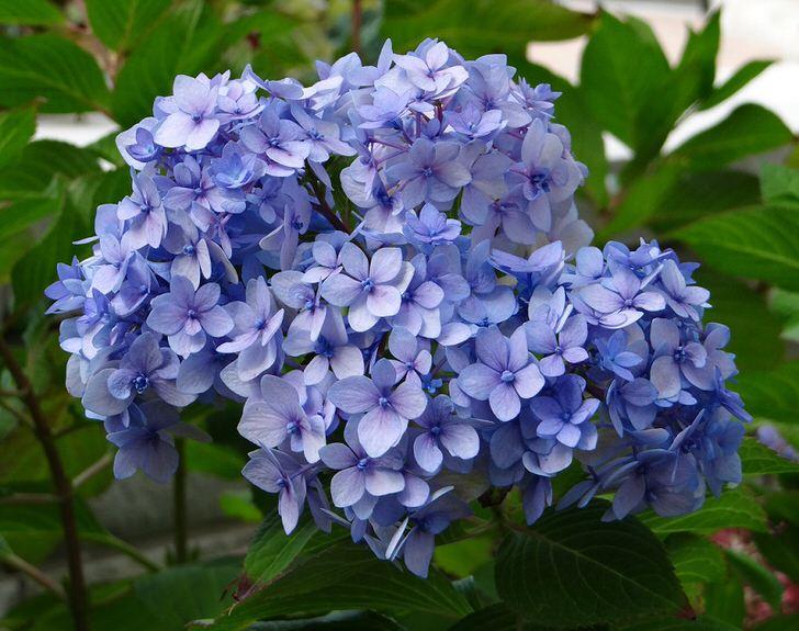 Пышные цветы гортензии садовой