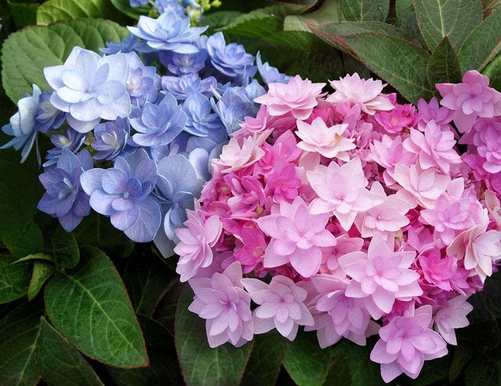 Полумахровые цветы гортензии Blushing Bride Endless Summer.