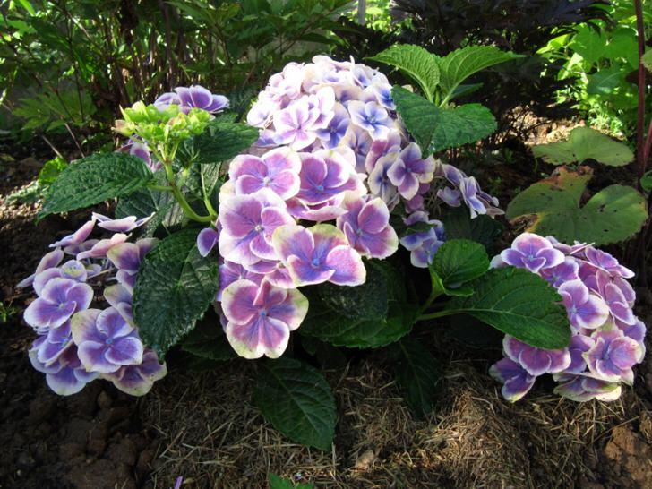 Крупные цветы дуболистной гортензии. Белая окантовка смотрится нежно и изящно.
