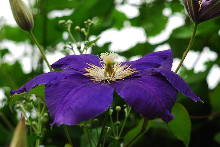 Темно-фиолетовые клематисы.