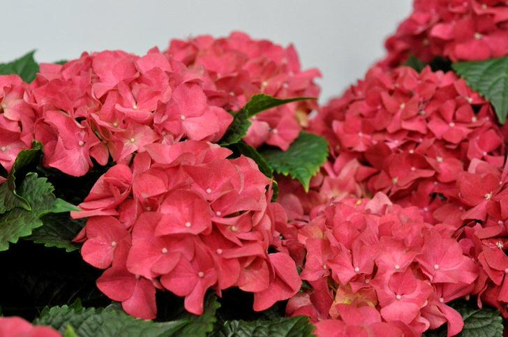 Ярко-розовые цветы гортензии