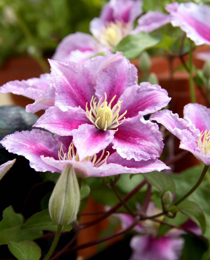 Бледно-розовый цвет клематиса стал самым популярным в этом дачном сезоне.