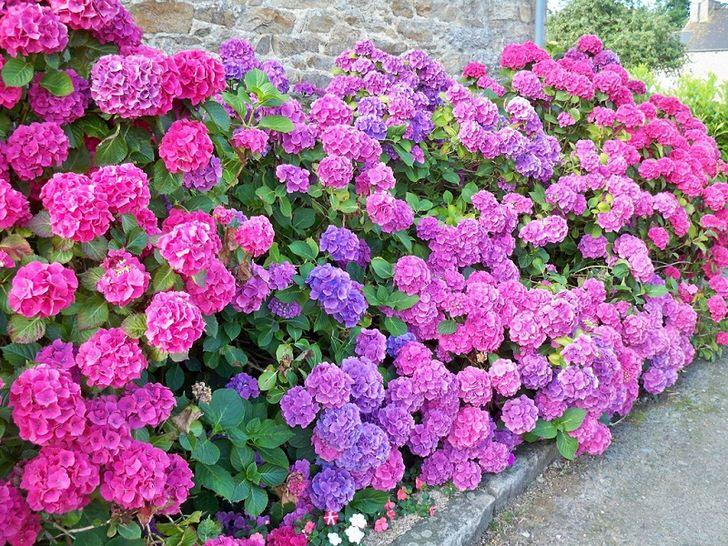 Гортензия садовая у дома