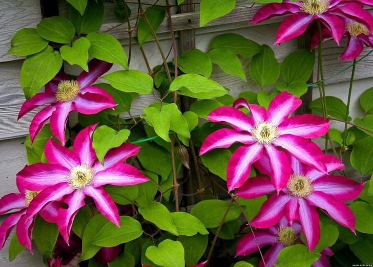 Ярко-малиновые клематисы станут контрастным украшением во дворе дачного дома.