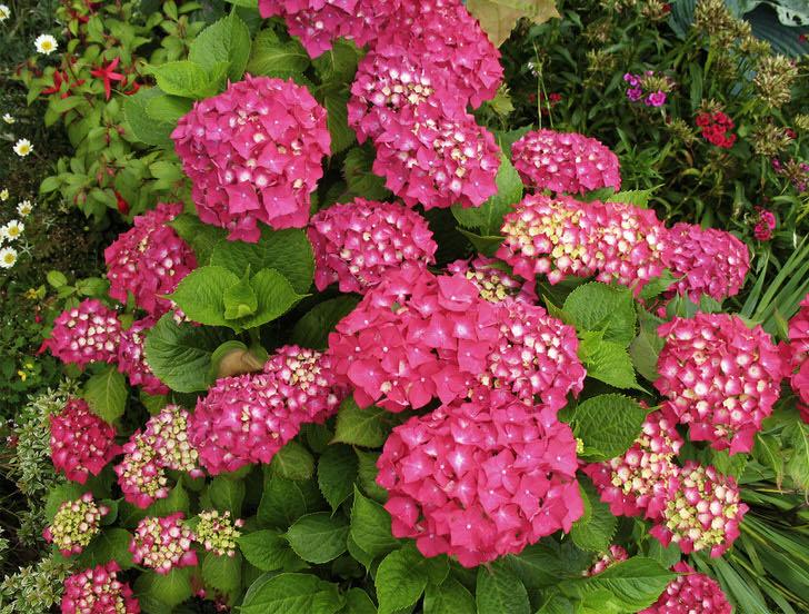 Бело-розовые соцветия гортензии