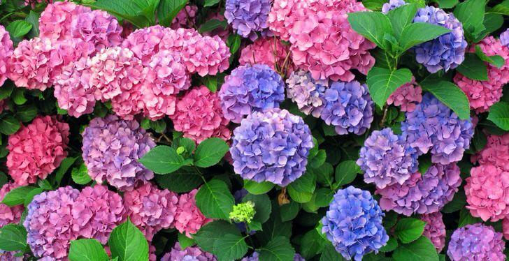 Разноцветные соцветия гортензии